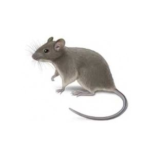 The Hitmen Termite & Pest Control provides information on the house mouse in the North & East Bay Area.