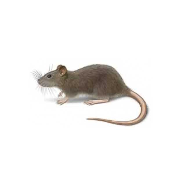 Norway rat identification and information in the North Bay and East Bay Area - The Hitmen Termite & Pest Control