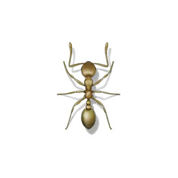 The Hitmen Termite and Pest Control provides information on pharaoh ants in the North and East Bay Areas.