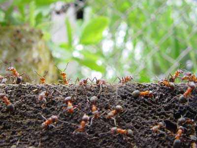 A fire ant colony in the North Bay Area - The Hitmen Termite and Pest Control